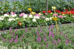 Dahlia en Salvia