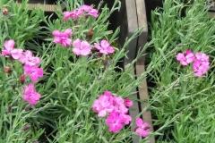 Grasanjer Dianthus